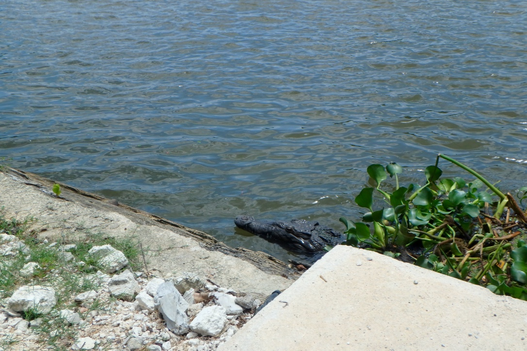 Jamaica Black River Crocodile 1