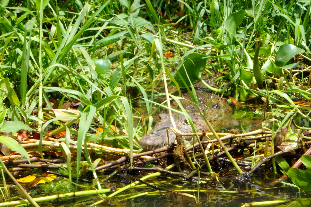 Jamaica Black River Crocodile 2