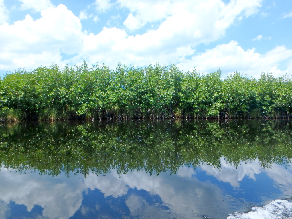 Jamaica Black River Mangrove Trees 2