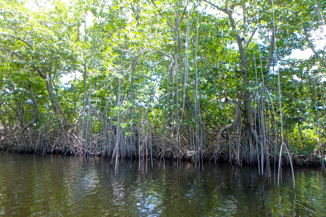 Jamaica Black River Mangrove Trees 1